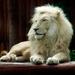 biely lev