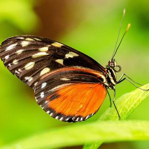 Tropicky motyl