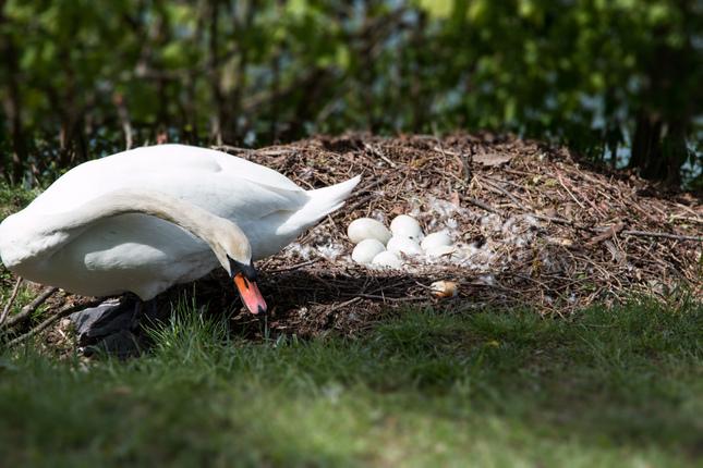 Labutie hniezdo