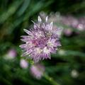 Allium schoenoprasum 2