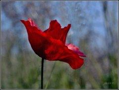 Rudá elegancia