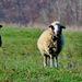 ... a zapózovali... ovečky