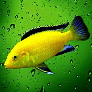 Alfonz - žltá rybka