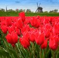 tulipánová ...