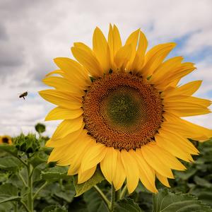 včielka a kvet
