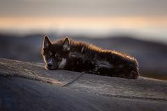 grónsky psík