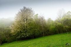 čerešňa v hmle