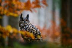 výr v jesennom šate