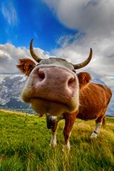 Švajčiarska kravička