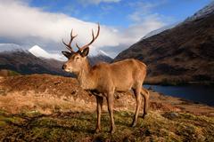 škótsky jeleň