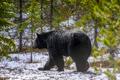 Medveď Baribal