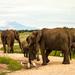 Sloni na prechádzke