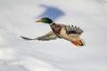lietajúce kačky