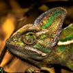 Chameleo Calyptratus