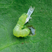 Sugar beet pests11