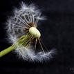 ...dandelion...