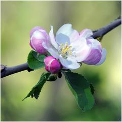 Nežná jablkovica
