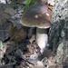Figliar skrytý za dubom