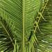 mladá palma