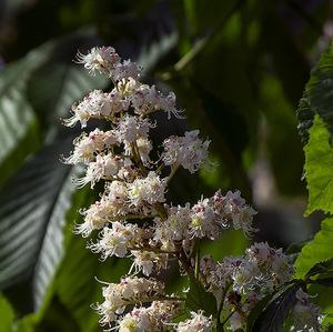Gaštanko kvitne