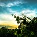Západ slnka nad vinicami