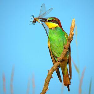 Vcelárik zlaty. Merops-apiaster.