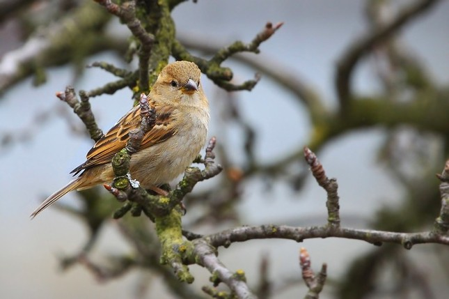 Vrabec poľny - samička