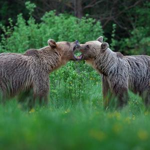 Pohnevané medvedice