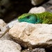 Jašterica zelená