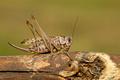 Kobylka hnedá