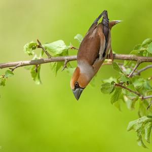 Ako netopier