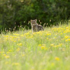 Mačka divá ( Felis silvestris )