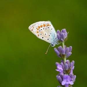Modráčik obyčajný. Polyommatus i