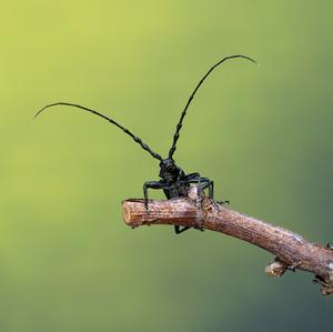 Fúzač bukový - Cerambyx scopolii