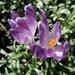 Kvet Crokus