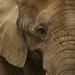 stary mudry slonik