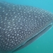 my first whaleshark