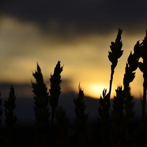 Západ Slnka pred žatvou