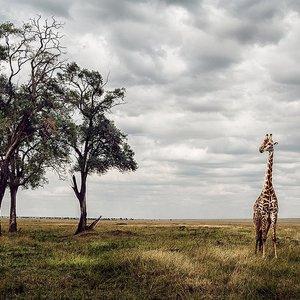 Keňa 2015  žirafa