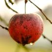 Posledné jablko