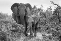Slony