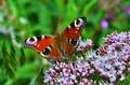 Motýľ (Babôčka pávooká)