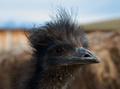 Emu Špinavý