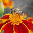 kvet a včela