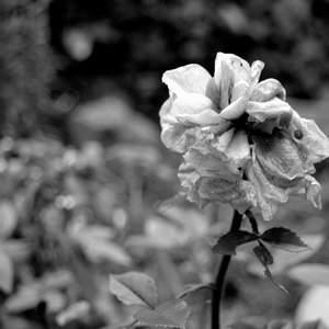 Ruža Čb