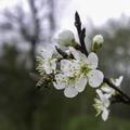 Predzvest jari