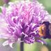 Kvet cesnaku pažítkového