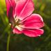 Slnkom objatý tulipán