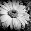 black'n'white flower