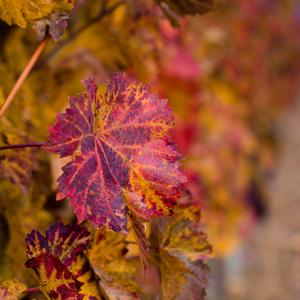 jeseň viniča